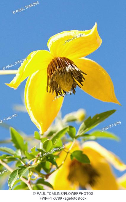 Yellow flowers of Clematis tangutica