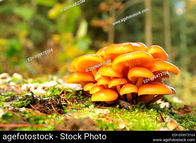 Family of mushrooms on a green moss