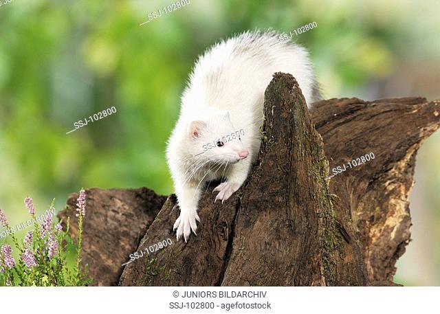 Domestic polecat on tree stump / Mustela putorius f furo