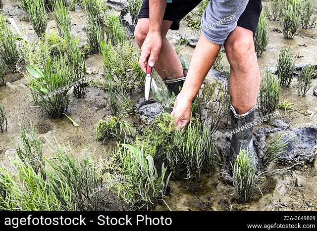 Man collecting Samphire and Sea Lavender in the official nature reserve area and swamp 'The Drowned Land of Saeftinghe' in the southwest Netherlands