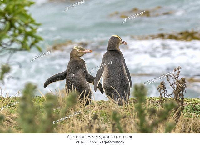 Pair of yellow eyed penguins at Katiki Point in summer. Moeraki peninsula, Waitaki district, Otago region, South Island, New Zealand