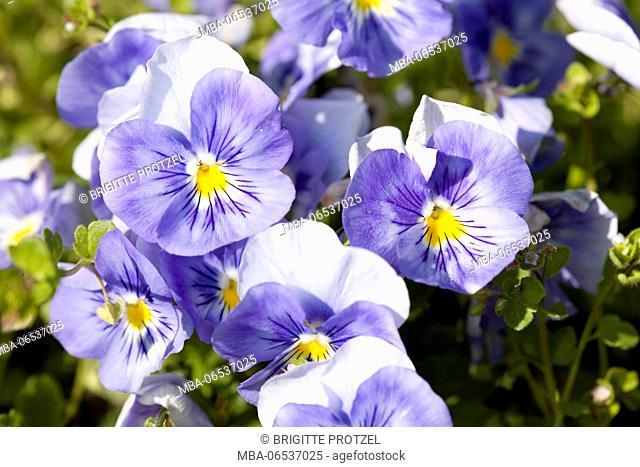 Purple pansies in the garden