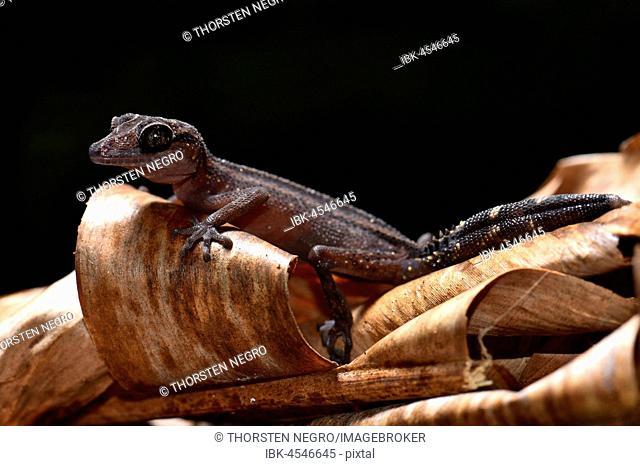 Great Headgecko (Paroedura gracilis), Rainforest, AnaLlamazaotra National Park, Eastern Highlands, Madagascar