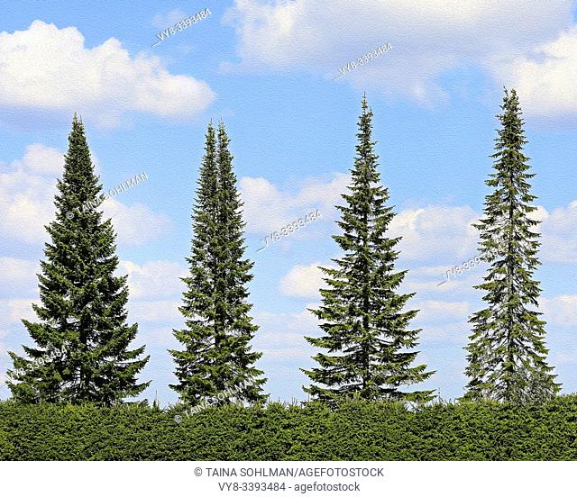 Spruce trees growing in a neat row against blue sky and white clouds in the summer. Loimaa, Finland