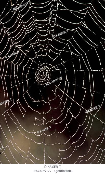 Spider web with dew drops Black Forest Germany