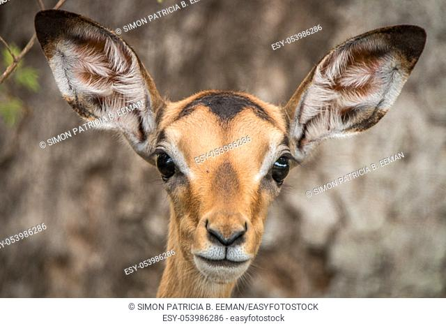 Young female Impala starring at the camera in the Kruger National Park, South Africa