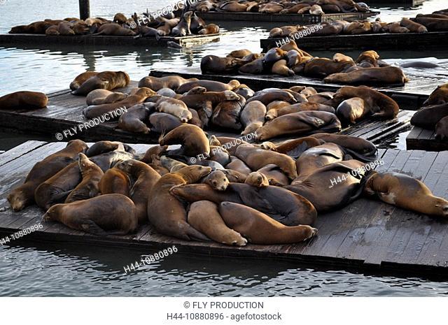 Seelöwen am Pier 39, San Francisco