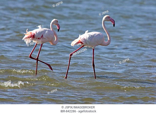 Pink Flamingoes (Phoenicopterus ruber roseus), adult, standing in water, Walvis Bay, Namibia, Africa