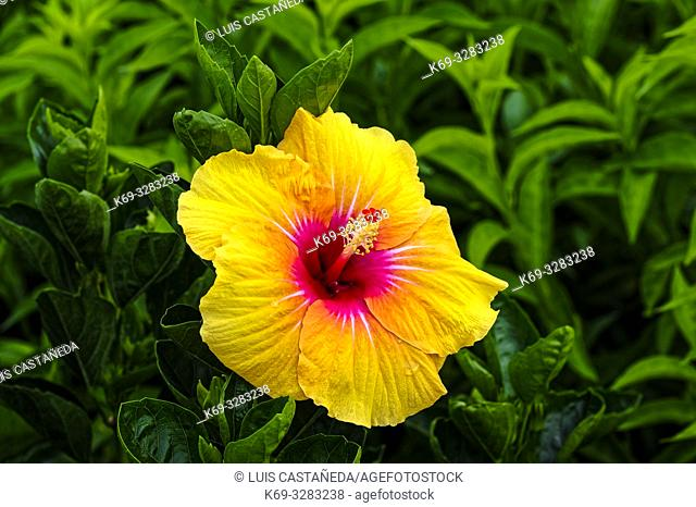 Hibiscus is a genus of flowering plants in the mallow family, Malvaceae. The genus is quite large, comprising several hundred species that are native to warm...
