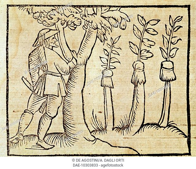 Grafting the trees, illustration from De Agricoltura Vulgare, by Pier Crescenzio (1233-1320), edition published in Venice, 1495. Italy, 15th century