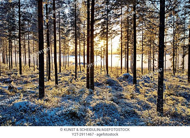 A pine forest is illuminated by the low winter sun at the shore of a frozen lake. Agnsjön, Bredbyn, Västernorrland, Sweden