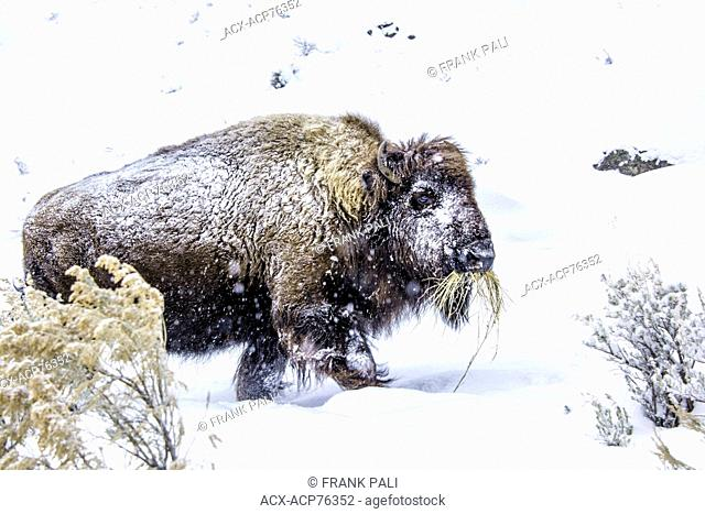 The American bison (Bison bison), Wildlife of Yellowstone Park at Lamar Valley Mammoth Falls , Wyoming USA i