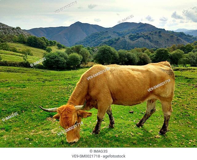 Cow in Les Praeres, Sierra de Peñamayor, Nava municipality. Asturias, Spain