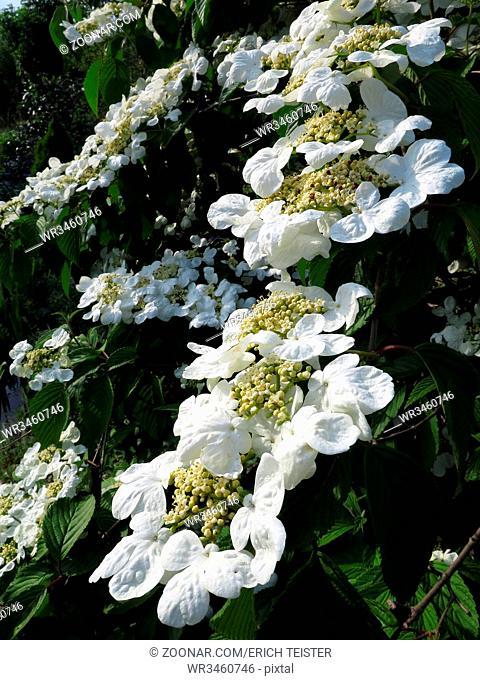 Schneeball-Blüten