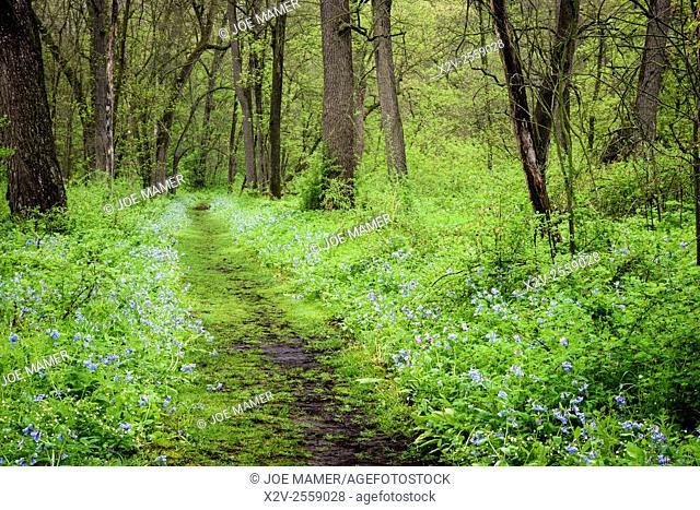 Bluebells (Mertensia virginica) carpet the forest floor in Carley State Park in springtime