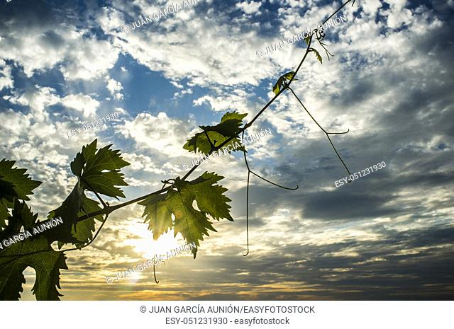 Vines plantation under June sunset light and cloudy blue sky. Tender green leaves at forefront