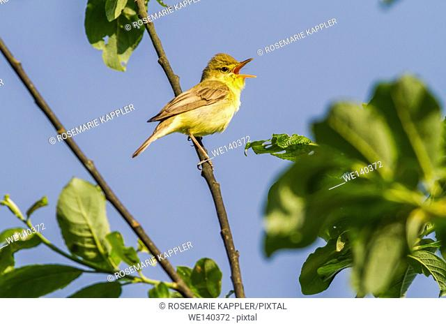 Germany, Saarland, Bexbach, A melodious warbler sings on a branch