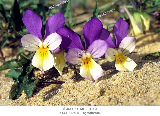 Seaside Pansies, Belgium, Viola curtisii