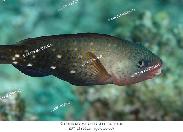 Female Bullethead Parrotfish (Chlorurus sordidus), Sebayor Point dive site, between Komodo and Flores Islands, Komodo National Park, Indonesia