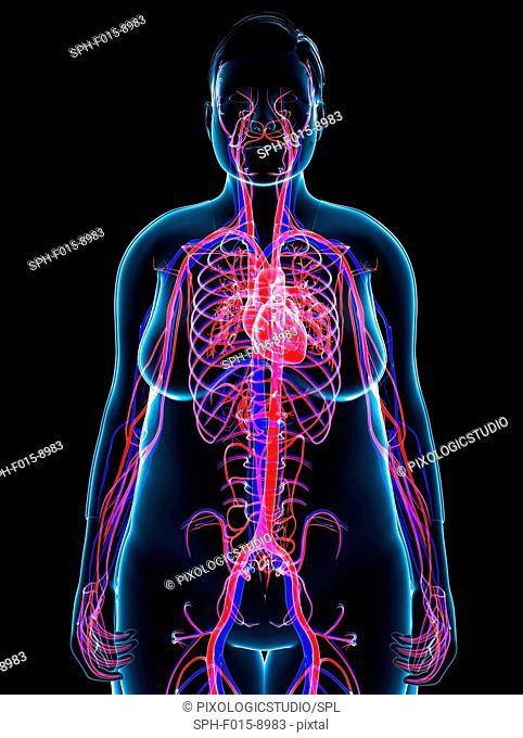 Illustration of female cardiovascular system