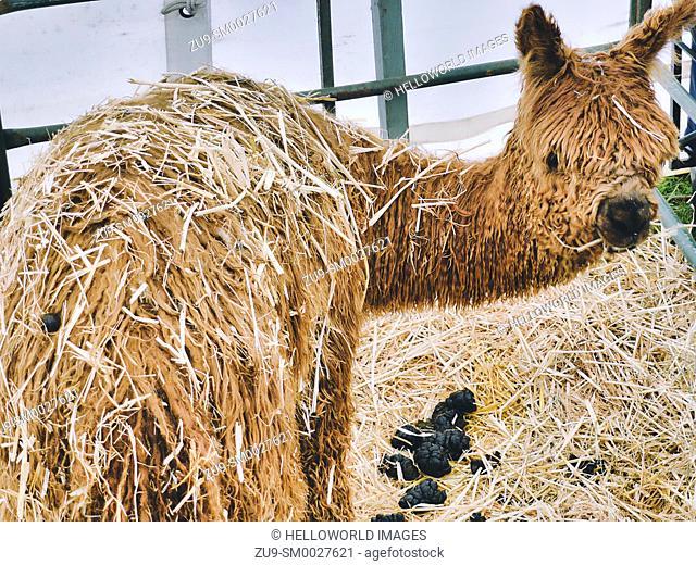 Llama and llama poo in pen enclosure, Three Counties Show 2019, Malvern, Worcestershire, England
