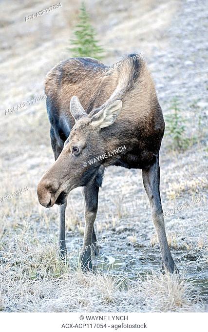 Adult cow moose (Alces alces), canadian Rockies, Alberta