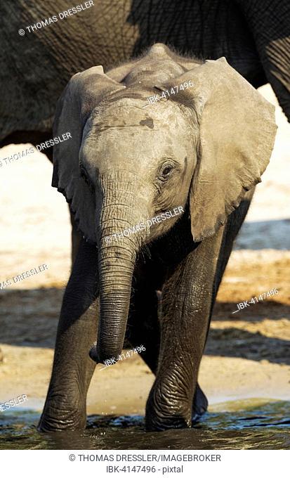 African Elephant (Loxodonta africana), calf drinking at the Chobe River, photographed from a boat, Chobe National Park, Botswana