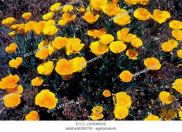 Poppies, Los Padres National Forest