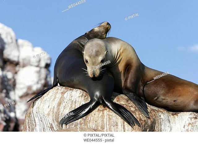 California Sea Lion (Zalophus californianus) mother and pup on Los Islotes in the Gulf of California (Sea of Cortez), Mexico