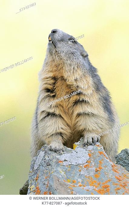 Alpine Marmot (Marmota marmota). Großglockner, Austrian Alps