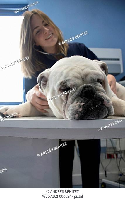 Veterinarian checking dog with an stethoscope in a veterinary clinic