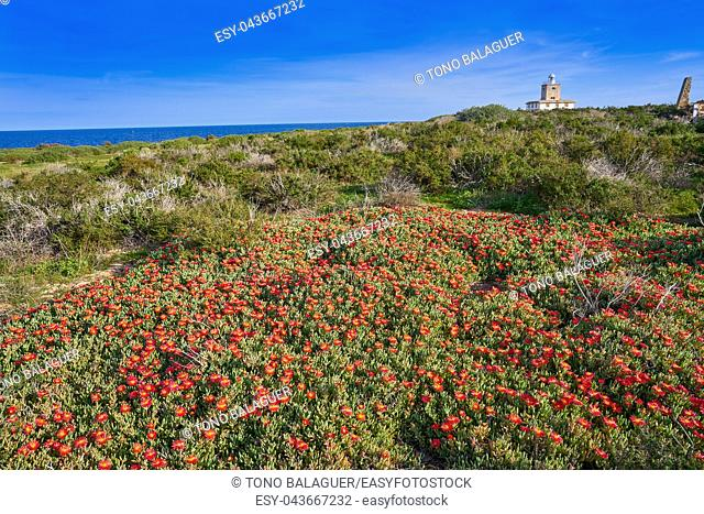 Lighthouse Faro of Nova Tabarca island in Alicante Spain red Mesembryanthemum flowers