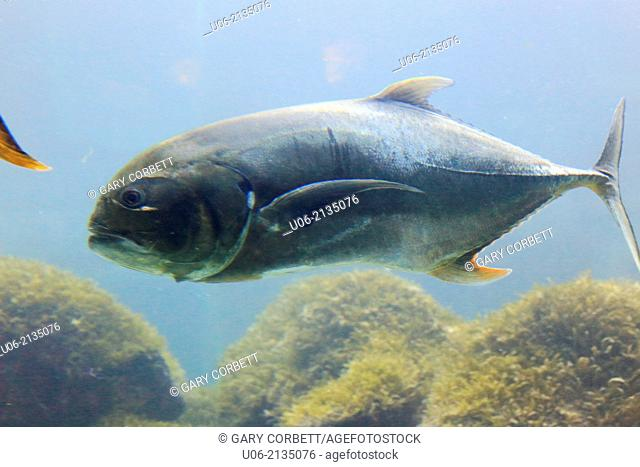 The crevalle jack, Caranx hippos (also known as the common jack, black-tailed trevally, couvalli jack, black cavalli and yellow cavalli) is a common species of...
