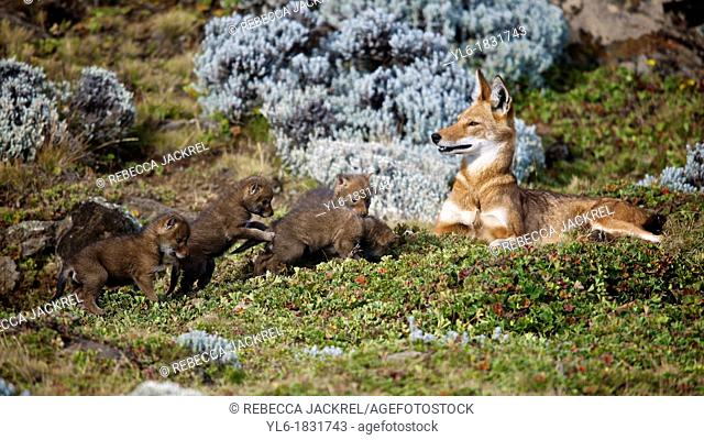 3-wk old Ethiopian Wolf pups exploring outside the den for the first time