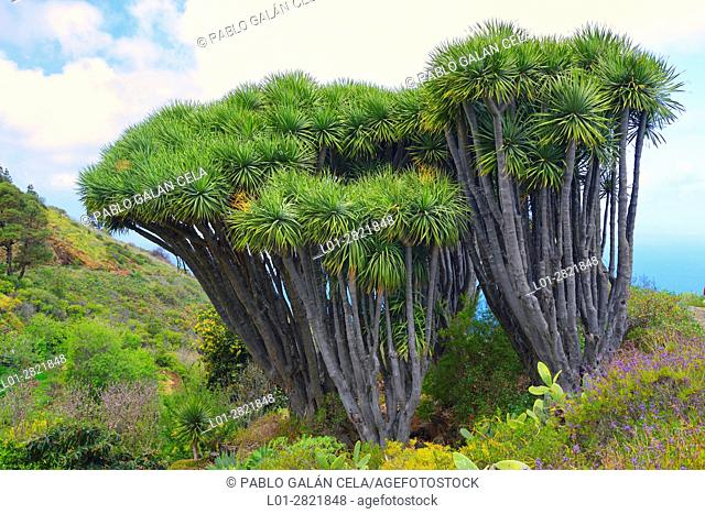 Drago trees. La Palma. Canary islands