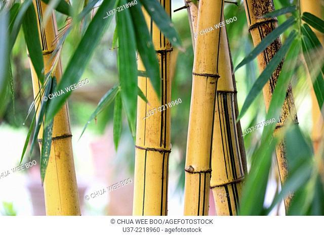 Redeem Bamboo Garden, Singai, Sarawak, Malaysia