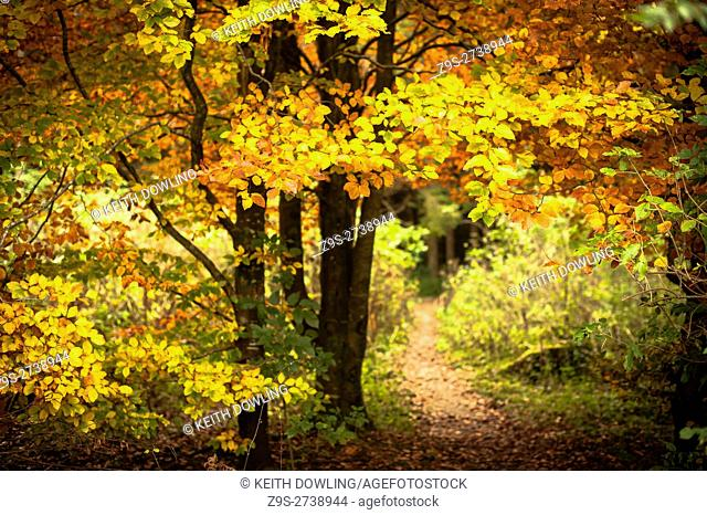 Autumn Colours and Light in Natural Woodland. Castledermot, County Kildare, Ireland