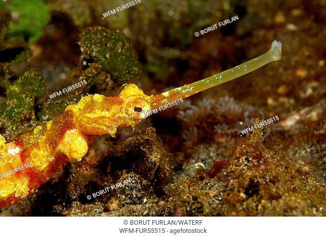Yellow Ornate Pipefish, Halicampus macrorhynchus, Alor, Indonesia