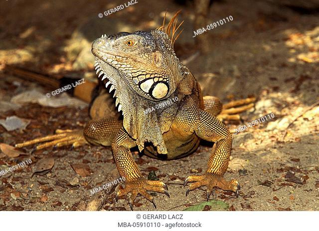 Green Iguana, iguana iguana, Adult, Los Lianos in Venezuela