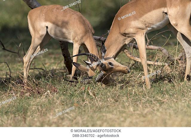 Africa, Southern Africa, Bostwana, Moremi National Park, Impala (Aepyceros melampus), two males fighting