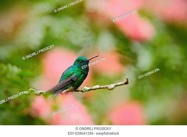 Green hummingbird Blue-chinned Sapphire, Chlorostilbon notatus