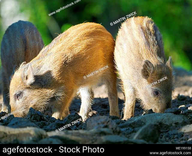 Young boar, piglet. Wild Boar (Sus scrofa) in Forest. National Park Bavarian Forest, enclosure. Europe, Germany, Bavaria