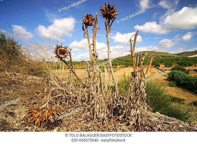 Dry thistles. Puig des Moro. Porreres. Es Pla. Mallorca. Illes Balears. Spain