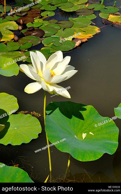 White Lotus flowers in a pond