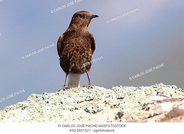 Hembra de Collalba Negra 'Oenanthe leucura'. Parque Nacional de Monfrague, Extremadura