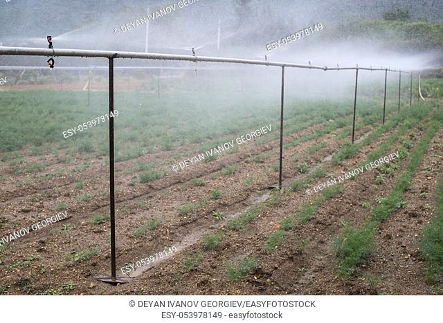 Field planted with dill. Watering dill with sprinkler