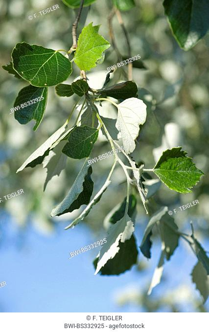 white poplar, silver-leaved poplar, abele (Populus alba), tree, Germany