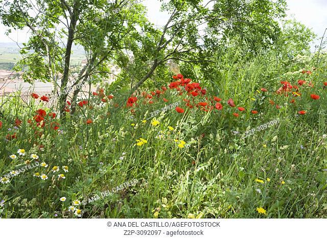 Spring flowers in San Vicente de la Sonsierra castle in La Rioja Spain