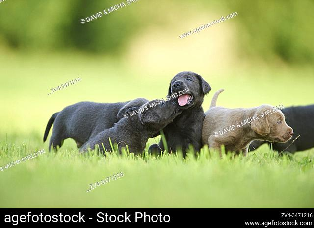 Black and Chocolate Labrador Retriever pup on a meadow, Germany