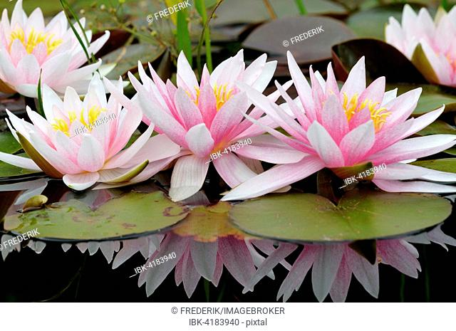 Pinky white water lilies (Nymphaea sp.) with reflection in the water, North Rhine-Westphalia, Germany